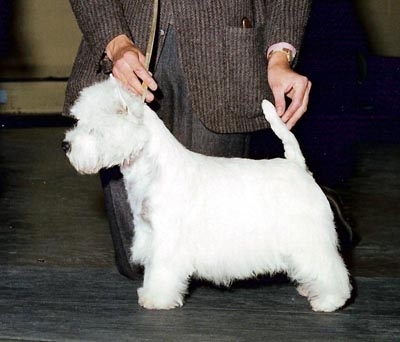 Bute Show Dog