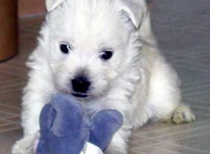 West Highland White Terrier puppy with toy.jpg