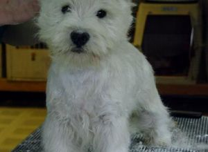 West Highland White Terrier on rug.jpg