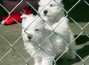 West Highland White Terrier puppies playing.jpg