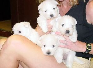 West Highland White Terrier puppies.jpg