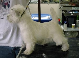West Highland White Terrier on scale.jpg